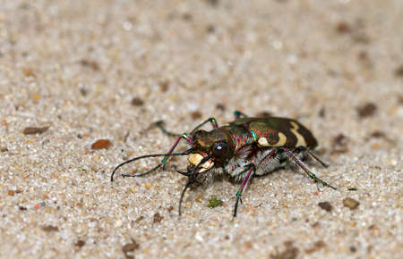 Cicindela hybrida, also known as the northern dune tiger beetle photo
