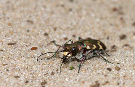 tiger beetle: Cicindela hybrida, conosciuta anche come la duna nord tigre coleottero Archivio Fotografico