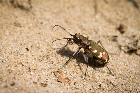 Cicindela hybrida, also known as the northern dune tiger beetle Stock Photo - 16541719