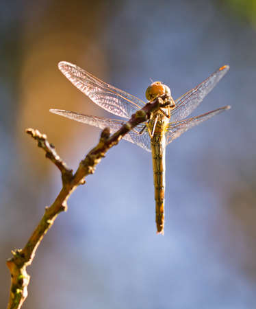 sympetrum: View from under a female Common Darter  Sympetrum striolatum  dragonfly Stock Photo