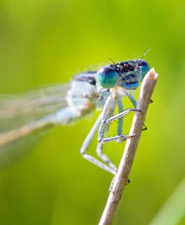 Close up of the Azure Damselfly  Coenagrion puella  in a field in the Netherlands photo