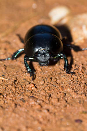 geotrupes: Front view on a beetle from the Geotrupidae family and the Geotrupes genus in Croatia