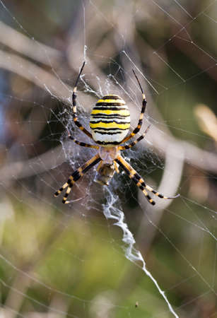 The wasp spider  Argiope bruennichi  in europe photo