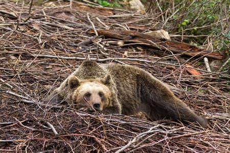 arctos: Eurasian Brown bear  Ursus arctos arctos  resting in the forest in Croatia in Velebit national park Stock Photo