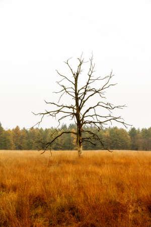 veluwe: Dead tree in a field in national park  De hoge veluwe  in the Netherlands in autumn Stock Photo