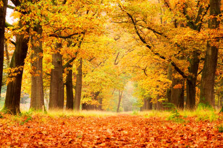 autumn colour: Beautiful autumn forest in national park  De hoge Veluwe  in the Netherlands