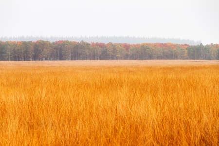 veluwe: Golden heathland in national park  De hoge veluwe  in the Netherlands in autumn