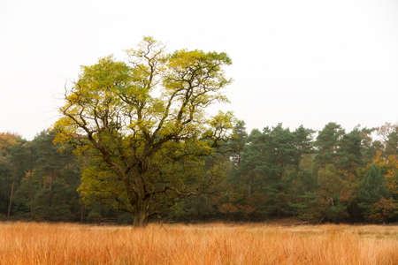 Autumn tree on the edge of the forest in national park  De hoge Veluwe  in the Netherlands Stock Photo - 18390936