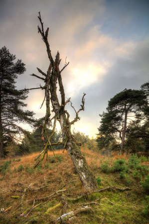 veluwe: Dead tree in national park  De hoge veluwe  in the Netherlands in autumn Stock Photo