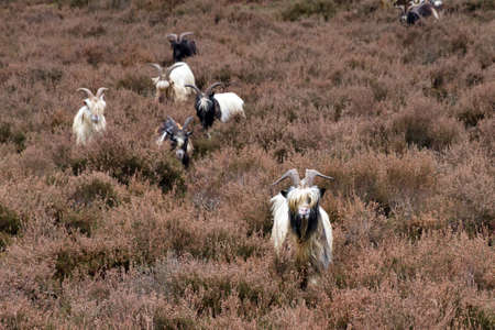 A flock of Dutch Landrace goats on the heathland in the Netherlands Stock Photo - 19119445