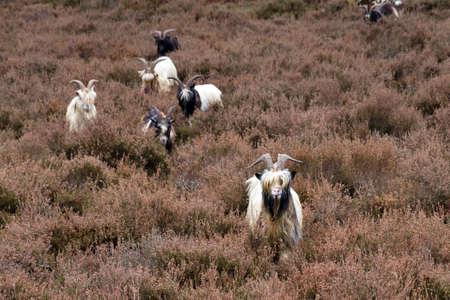 landrace: Un reba�o de cabras de raza Landrace holandeses en el brezal en los Pa�ses Bajos