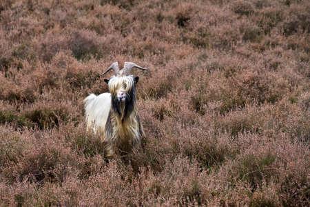 landrace: Close up retrato de una raza holandesa de cabra en la salud en los Pa?ses Bajos Foto de archivo