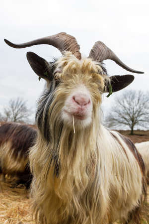 Close up portrait of a dutch landrace goat on the heath in the Netherlands Stock Photo - 19119416