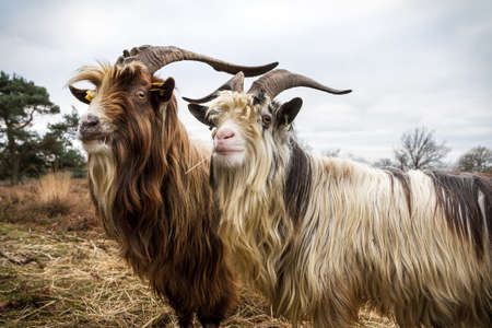 heathland: Close up portrait of a couple of dutch landrace goats on the heath in the Netherlands Stock Photo
