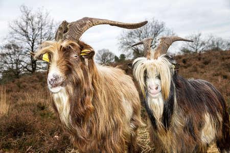 landrace: Close up retrato de una pareja de cabras criollas holandeses en el brezal en los Pa�ses Bajos Foto de archivo