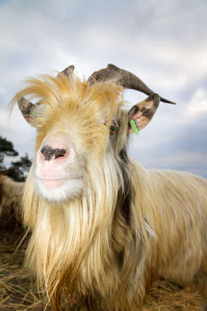 landrace: Close up portrait of a dutch landrace goat on the heath in the Netherlands Stock Photo