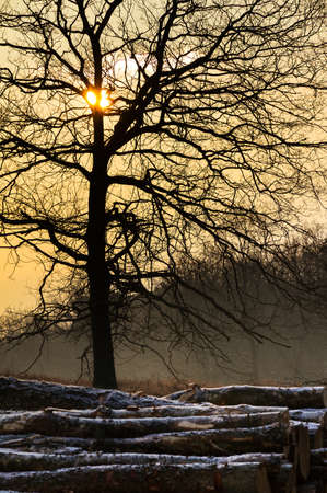 Pile of logs and a tree at sunrise at the Posbank in the Netherlands photo