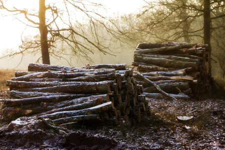 posbank: Piles of logs at sunrise on a cold winter day with snow in the air at the Posbank in the Netherlands