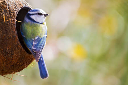 caeruleus: The Blue Tit Cyanistes caeruleus sobre las semillas de invierno en el jard�n Foto de archivo