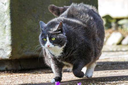 Obese pussy cat on the move in the garden  in spring photo