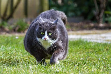 Obese pussy cat on the move in the garden  in spring Stock Photo