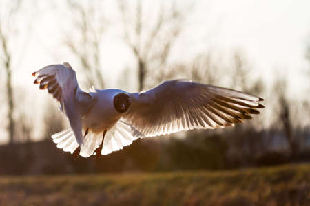 The Black-headed Gull  Chroicocephalus ridibundus  in flight, backlit photo