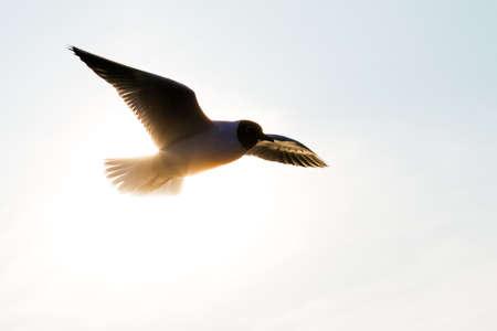 ridibundus: The Black-headed Gull  Chroicocephalus ridibundus  in flight, backlit
