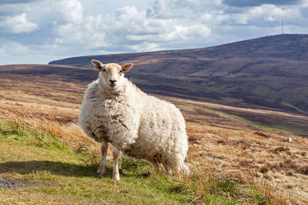 Strong and tough sheep standing in the landscape of Ireland photo