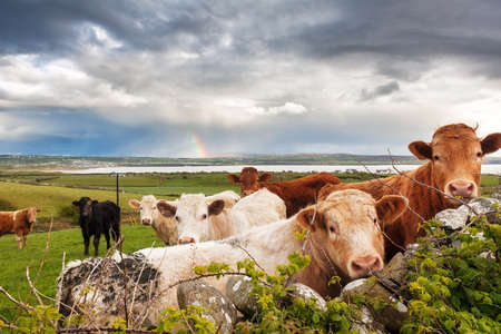 Beautiful Irish landscape with cows in the meadow and a rainbow in the background photo