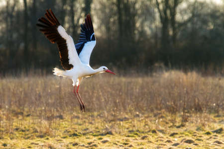 Beautiful White stork  Ciconia ciconia  at sunset in spring in the Netherlands photo