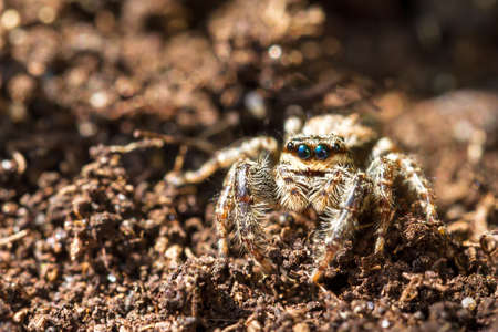 salticidae: Little spider from the jumping spider family  Salticidae  camouflaged on the ground Stock Photo