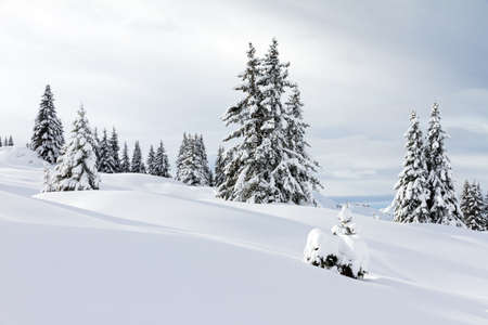 off piste: Beautiful fresh powder landscape with pine trees in Les Portes du Soleil in the European Alps