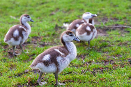 alopochen: Chicks of the Egyptian Goose  Alopochen aegyptiacus  in the Vondelpark in the Netherlands