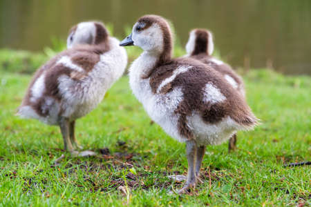 Chicks of the Egyptian Goose  Alopochen aegyptiacus  in the Vondelpark in the Netherlands photo