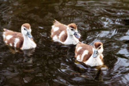 alopochen: Chicks of the Egyptian Goose  Alopochen aegyptiacus  in the water in the Vondelpark in the Netherlands Stock Photo