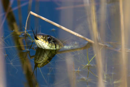 ringed: The grass snake  Natrix natrix , sometimes called the ringed snake or water snake Stock Photo