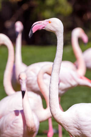 The Greater Flamingo  Phoenicopterus roseus  portrait photo