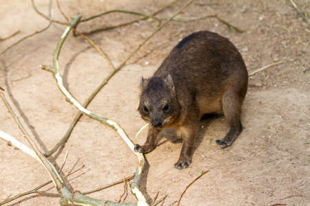 actuality: The Hyrax, a fairly small, thickset, herbivorous mammal in the order Hyracoidea  They are often mistaken for rodents, but in actuality are more closely related to elephants