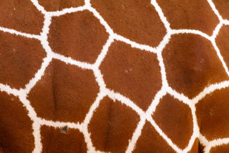 white background giraffe: Close up of a giraffes print, showing the hexagon pattern of its fur Stock Photo