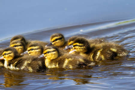 New born ducklings  Anas platyrhynchos  in spring in the Netherlands photo