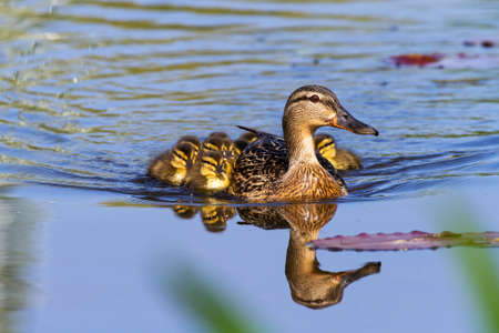 Mother Duck  Anas platyrhynchos  with her new born offspring in the Netherlands in spring photo