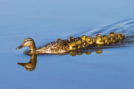 baby animals: Mother Duck  Anas platyrhynchos  with her new born offspring in the Netherlands in spring Stock Photo