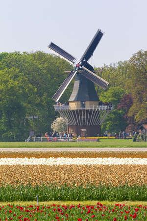lisse: Mooie windmolen van de keukenhof buurt van Lisse in Nederland in het voorjaar met tulipfields