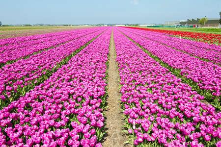 lisse: Rijen van paars roze tulpen in een veld in de buurt van de keukenhof in Lisse, Nederland Stockfoto