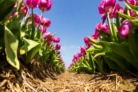 lisse: Rijen van paars-roze tulpen in een veld in de buurt van de Keukenhof in Lisse, Nederland