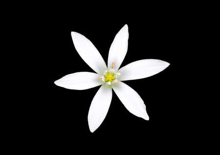 ornithogalum: Ornithogalum umbellatum  Star-of-Bethlehem  isolated against a black background