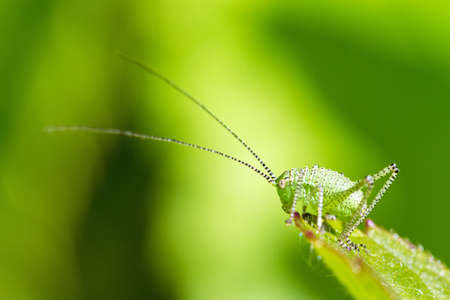 Die gesprenkelten Busch-Cricket Leptophyes punctatissima Nymphe in den Niederlanden Standard-Bild