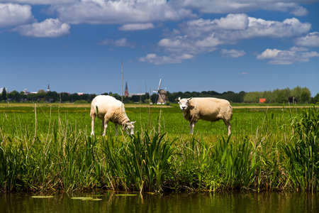 Typical dutch rural scene in spring with sheep and a windmill in the background in Baambrugge, the Netherlands  photo