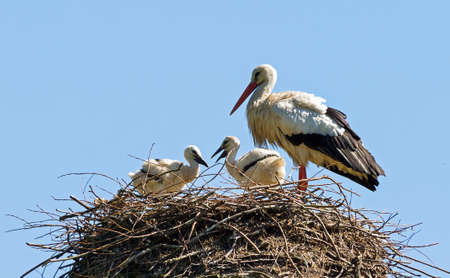 Stork  Ciconia ciconia  on her nest with chicks in spring in the Netherlands photo