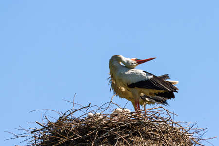 Stork  Ciconia ciconia  on her nest calling her mate in spring in the Netherlands photo
